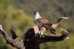 Bonelli`s Eagle watches from his innkeeper. A Bonelli`s Eagle watches from his innkeeper stock images