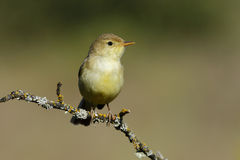 Bonelli's Warbler,( Phylloscopus bonelli ). Sunbathing on a branch Royalty Free Stock Images