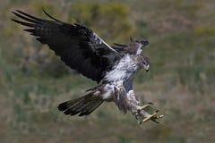 Bonellis-Adler Aquila-fasciata Lizenzfreie Stockfotografie