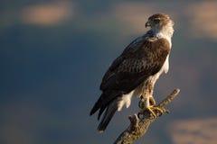 Bonellis Eagle foto de stock