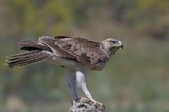 Bonellis eagle Aquila fasciata Stock Image