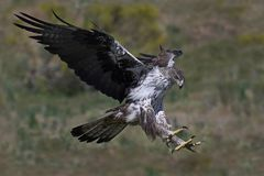 Bonellis eagle Aquila fasciata Royalty Free Stock Photography