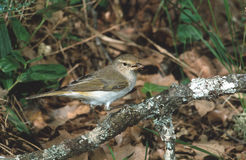 Bonellis warbler, Phylloscopus bonelli. Spain Stock Photography