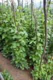 Bonen die in klein dorp in de bergen groeien Royalty-vrije Stock Foto
