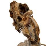 bones 04 trex Obraz Royalty Free