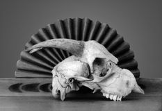 Bones. Animal skull in front of southwest carved wood Stock Photos