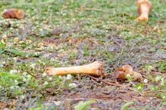 Bones of the animals on grass. Royalty Free Stock Photos