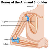Bones of the arm and shoulder. Illustration Royalty Free Stock Photos