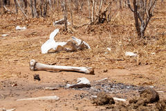 Bones - Chobe N.P. Botswana, Africa Royalty Free Stock Image