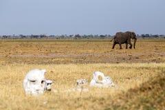 Bones - Chobe N.P. Botswana, Africa Stock Photos