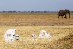 Bones - Chobe N.P. Botswana, Africa Stock Photography