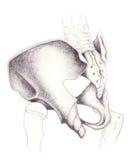 bones coxal pelvis Стоковые Фото