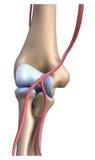 The bones elbows Stock Images