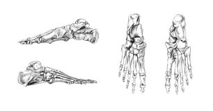 Bones of foot. Hand drawn medical illustration drawing with imitation of lithography: Bones of foot Royalty Free Stock Image