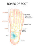 Bones of foot. Human Anatomy. The diagram shows the placement and names of all royalty free illustration