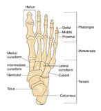 Bones of the foot, labeled. Bones of the foot as seen from above (superior aspect), with the bones labeled Royalty Free Stock Photo