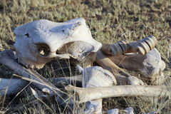Bones of a giraffe in the serengeti Stock Photo