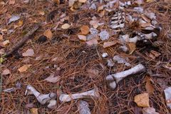 Bones on the ground. Murden scene concept royalty free stock image