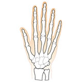 Bones of the Human Hand Royalty Free Stock Photo