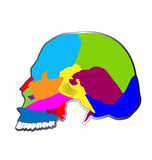 The bones of the human skull Stock Photos