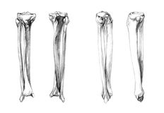 Bones of leg (fibula, tibia). Hand drawn medical illustration drawing with imitation of lithography: Bones of leg (fibula, tibia Royalty Free Stock Image