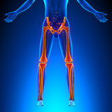 Bones Legs Anatomy. With highlighted zone - pain concept vector illustration