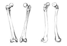 Bones of legs (femur). Hand drawn medical illustration drawing with imitation of lithography: Bones of legs (femur Royalty Free Stock Photos