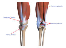 The bones and the muscles the legs Stock Photo