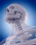 Bones of the neck Stock Image