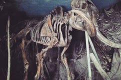 Bones. Of old elephant Stock Images