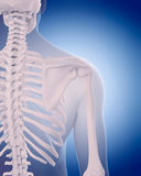 Bones of the shoulder. Medically accurate illustration - bones of the shoulder Stock Image