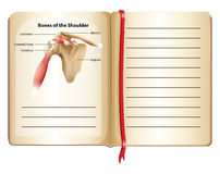 Bones of the shoulder on page Stock Images