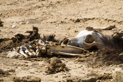 Bones and skull of a dead dog with the remains of wool and flesh lie on the ground in the desert Royalty Free Stock Photo