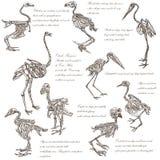 Bones, skulls of different birds - freehands Stock Photography