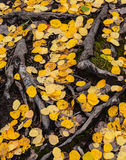 The Bones of Summer. Tree roots and aspen leaves cover the ground Royalty Free Stock Image