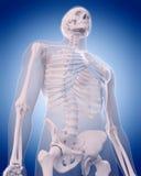 Bones of the thorax Royalty Free Stock Photos