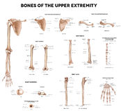 Bones of the upper extremity vector illustration
