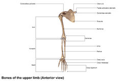 Bones of the Upper Limb Anterior view royalty free stock images