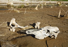 Bones beside a waterhole Royalty Free Stock Images