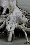 Boneyard Beach Root Royalty Free Stock Photos