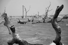 Boneyard Beach in South Carolina. A Black and White Photo of Dead Trees on the Beach stock photos