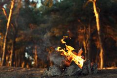 A bonfire in a pine forest. royalty free stock image