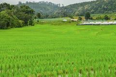 Bong Piang Rice Field på Chiang Mai, Thailand Arkivbilder