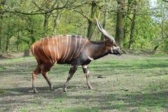 Bongo 1. A bongo strolls around his surroundings royalty free stock image