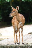 Bongo. Antelope sitting on ground royalty free stock photo