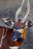 Bongo. Close Up Bongo Antelope Portrait royalty free stock photography