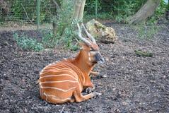 bongo Royaltyfria Foton