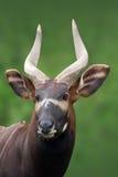 Bongo. Taurotragus euryceros isaaci Antilope royalty free stock photo