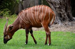 Bongo. An african antelope, at the zoo in Antwerp royalty free stock photo