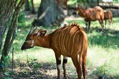 Bongo africano de la tierra baja imagen de archivo libre de regalías